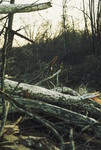 Felled Trees near the Little Tennessee River